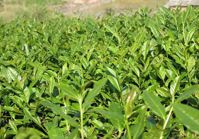 云南有千年的土司贡茶的户南茶,你知道其功效吗?