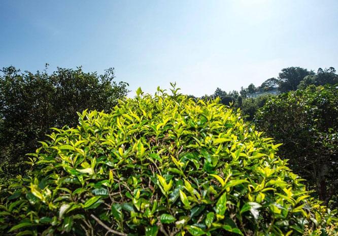 云南古树茶采摘与养护技术措施介绍。